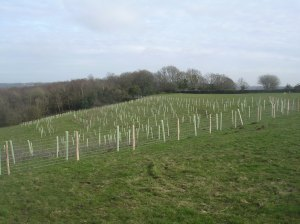 Trees shortly after planting in March 2011
