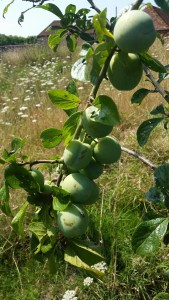 Greengage Old
