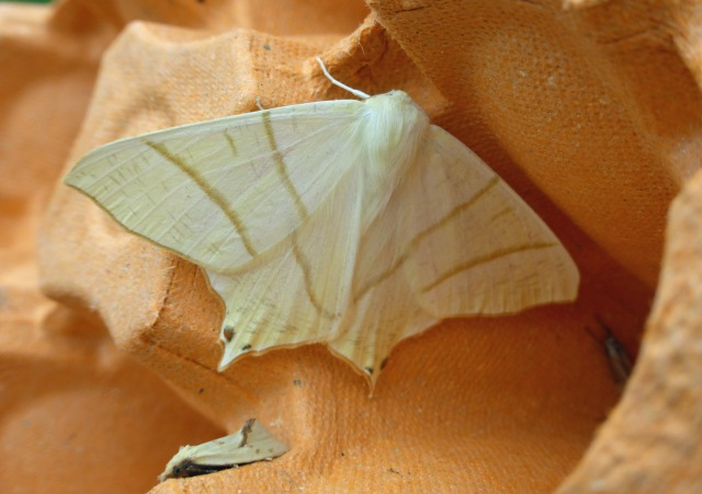 Agapeta hamana and Swallow-tailed Moth