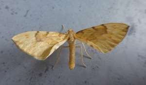 Barred Straw (library picture)
