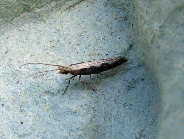 Diamond-back Moth